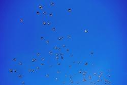 Flock of pidgeon birds lit by sun flying on blue sky background.