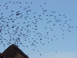 flock of pigeon fly  freedom  on the clear blue sky over the traditional  roof and old antenna at romania europe