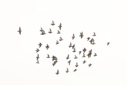 Flock of pigeons (columbidae)  in flight on white background