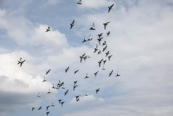 Flock of pigeons flies in circles over the landscape