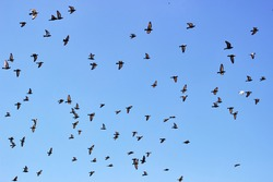flock of pigeons is circling in the air. Indian-Sri Lanka dove