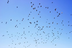 flock of pigeons is circling in the air. Indian-Sri Lanka dove (Columba livia intermedia)