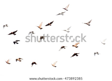 flock of pigeons on a white background #473892385