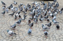 flock of pigeons on Amsterdam's Dam Square