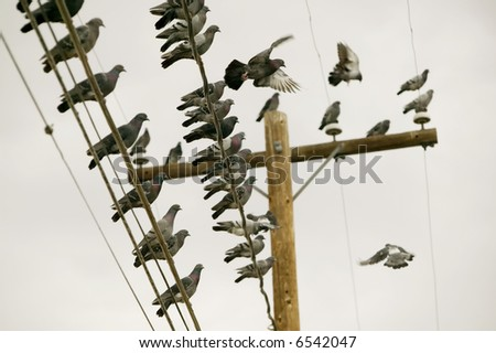 Flock of pigeons perched on a power line.