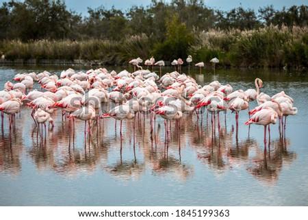 Flock of pink flamingos in Ornithological Park of Pont de Gau, France Stock photo ©