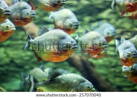 flock of piranhas swim nature wildlife