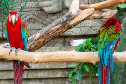 Flock of red macaw parrot with a huge beak sit on the branch on jungle background. Big ara parrot close-up