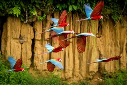 Flock of red parrot in flight. Macaw flying, green vegetation in background. Red and green Macaw in tropical forest, Peru, Wildlife scene from tropical nature. Beautiful bird in the forest.