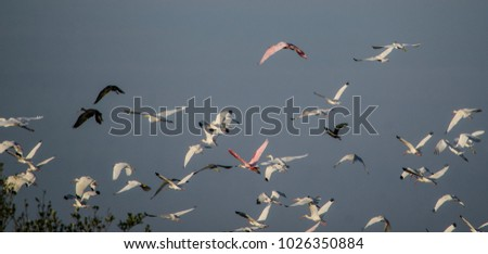 Stock Photo Flock of Roseate Spoonbills, ibis, and egrets into a stormy sky