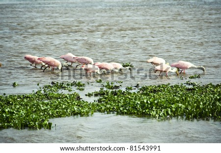 Flock of Roseate Spoonbills trawling the water for food