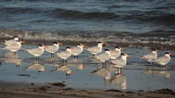 Flock of Royal Terns on the beach at low tide; committee of royal terns reflected in the water; copy space