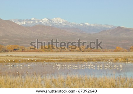 Flock of sandhill cranes wade in a pond at the Bosque del Apache wildlife reserve of New Mexico.