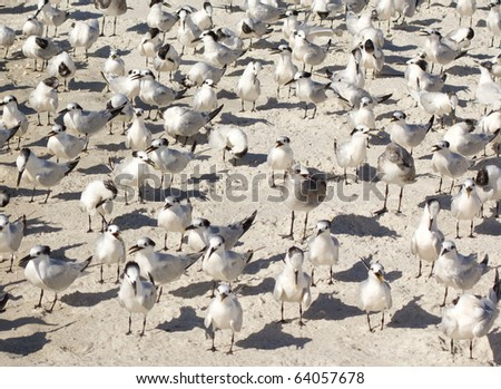 Flock of sandwich tern birds on beach