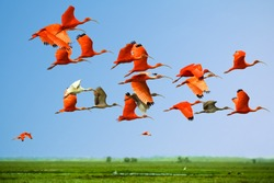 Flock of scarlet and white ibises in flight above green meadow with blue sky background (flying birds) (bids in the sky)
