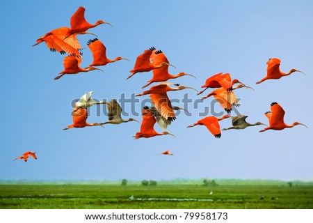 Flock of scarlet and white ibises in flight above green meadow with blue sky background (flying birds) - stock photo