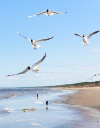 Flock of seagulls flying above the water, with a black crow standing at the background. Black-headed gulls (Chroicocephalus ridibundus) over Baltic sea.