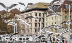 Flock of seagulls flying chaotically near Limmat river in Zurich city center. Flying seagulls. Waterfowl in flight.