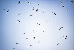 Flock of Seagulls Flying/Circling with Blue Sky Background