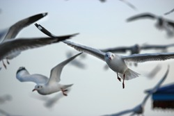 Flock of seagulls flying in the sky ( Science name is Charadriiformes Laridae ). Selective focus and shallow depth of field.