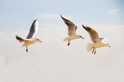 Flock of seagulls over in the blue sky. Seagulls flying in the blue sky