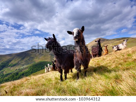 flock of sheep and goat in the mountains at spring