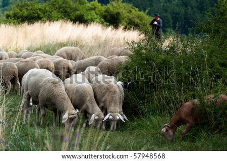 Flock of sheep and goats grazing in high grass with shepherd and dogs