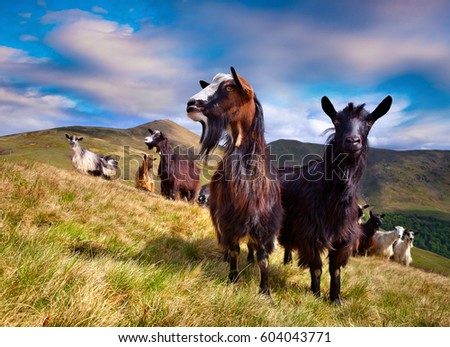 Flock of sheep and goats in the Carpathian mountains. Colorful rural scene in the mountain valley at springtime. Beauty of countryside concept background.
