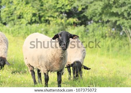 Flock of sheep and green  field  in  Kuzumaki, Iwate