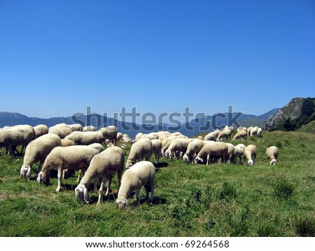 flock of sheep eat in the mountain