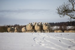 Flock of sheep  ewes in the snow winter