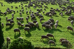 flock of sheep goat meadow shepherd grass