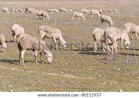 Flock of sheep grazing in a extensive farming system in Ciudad Real Province, Spain