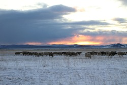 Flock of Sheep grazing in Winter Harsh Weather Snow Field. Scenic Landscape View of Pasture in countryside against Snowcapped Mountains on Horizon under Sunset Cloudy Sky