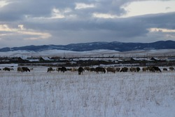 Flock of Sheep grazing in Winter Harsh Weather Snow Field. Scenic Landscape View of Pasture near Rural Countryside Village against Snowcapped Mountains on Horizon under Sunset Cloudy Sky