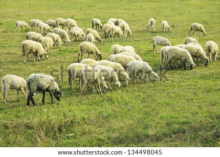 flock of sheep grazing on a meadow