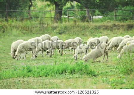 flock of sheep grazing on fresh spring meadow