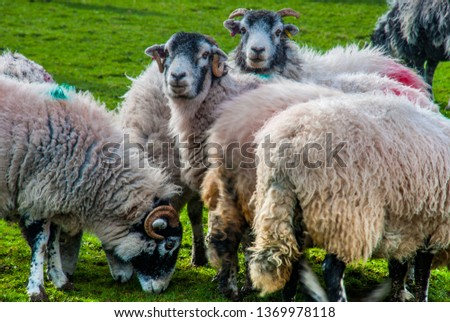Flock of sheep grazing on pasture pastures #1369978118