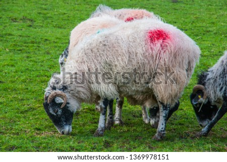 Flock of sheep grazing on pasture pastures #1369978151