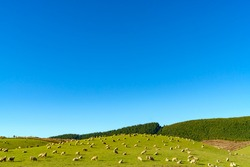 Flock of sheep grazing on the hill with beautiful green meadow field against blue sky in New Zealand.