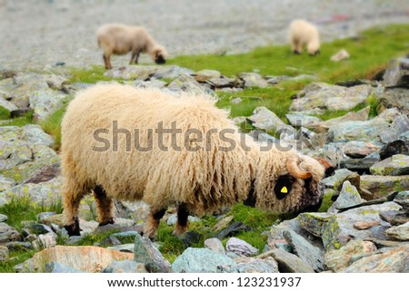 Flock of sheep grazing on the pasture under Matterhorn