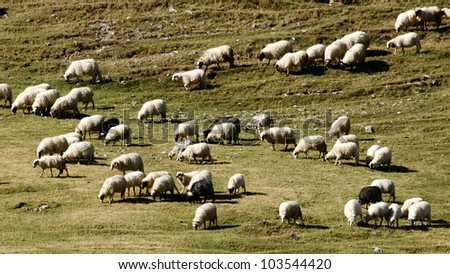 Flock of sheep. Group of sheep grazing grass on pasture on a mountain of Vranica that is central Bosnia's highest mountain at 2112 meter. - stock photo