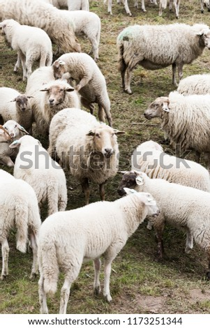 Flock Of Sheep Herding #1173251344