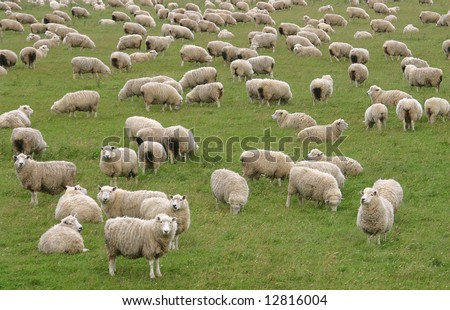 Flock of Sheep in a green meadow curiously looking at camera. South Island. New Zealand - stock photo