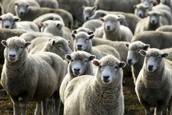 Flock of sheep in a sheep station looking at camera. Sheep industry concept. No people. Copy space