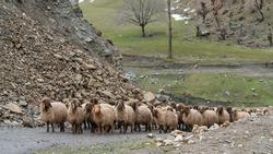 Flock of sheep in eastern Turkey, Bitlis