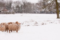 Flock of sheep in snow