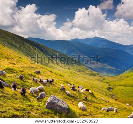 Flock of sheep  in the Carpathians mountains. Ukraine, Europe.