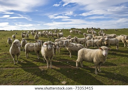 flock of sheep in the meadow