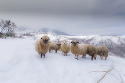 Flock of sheep in the mountains, in winter